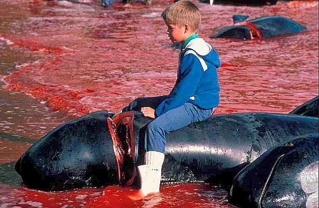 imagem de matança de baleias nas ilhas Faroe