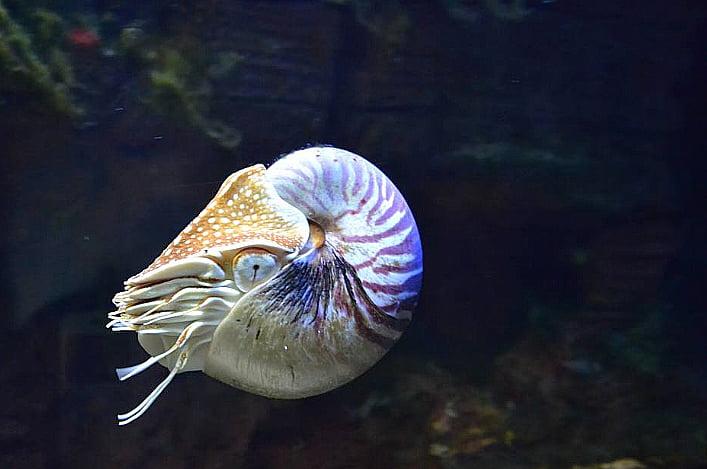 imagem do molusco Nautilóide