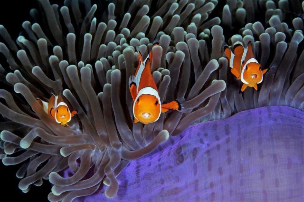 foto submarina de Peixes palhaços