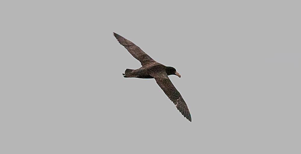 imagem de aves marinhas, petrel
