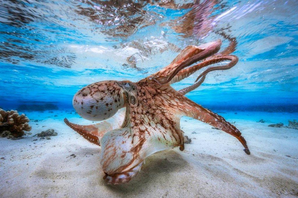 foto submarina de um polvo