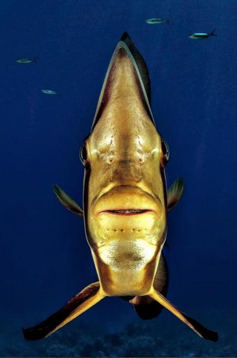 foto submarina de peixe morcego