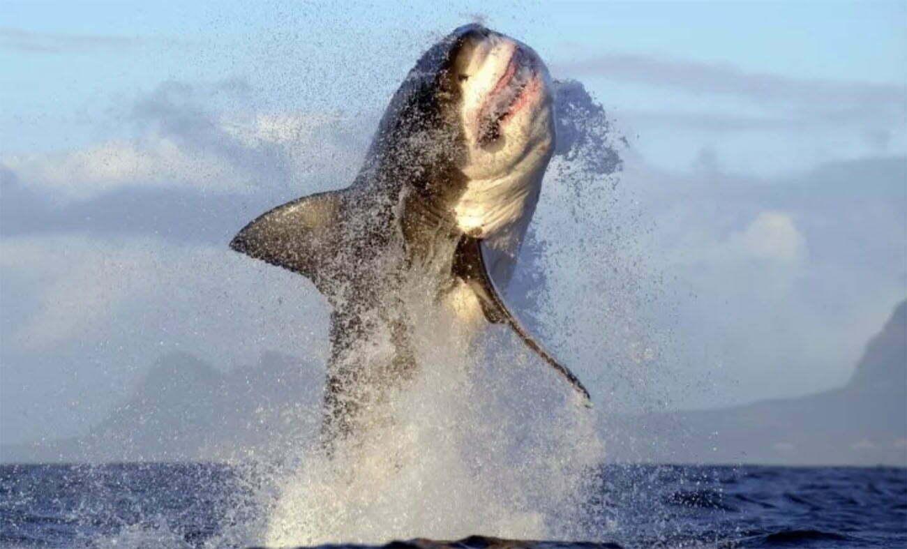 imagem de tubarão-branco saltando
