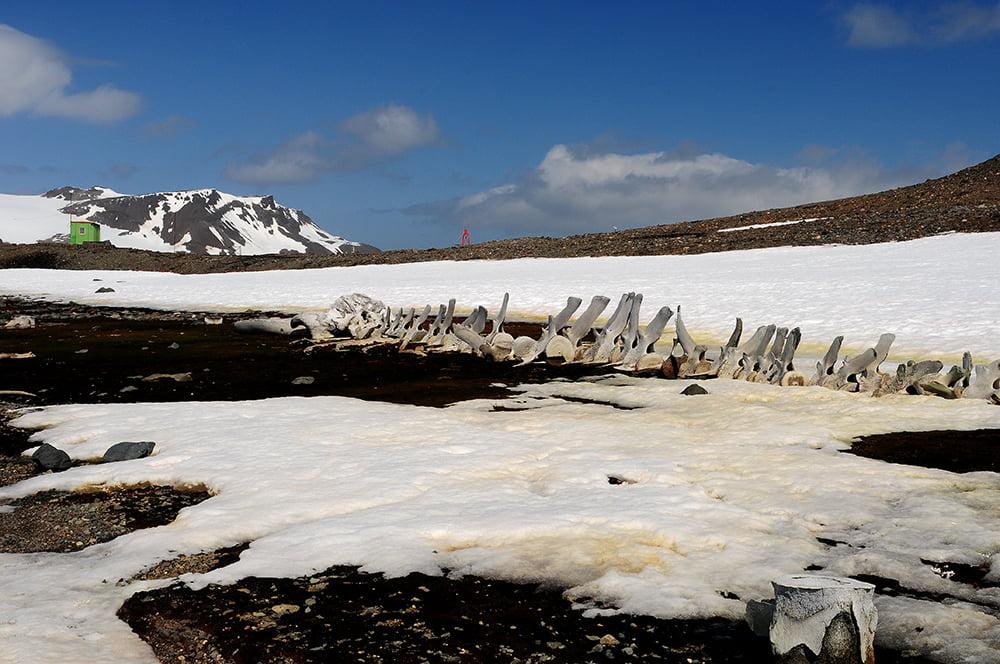 imagem de esqueleto de baleia montado na Antártica por jacques cousteau