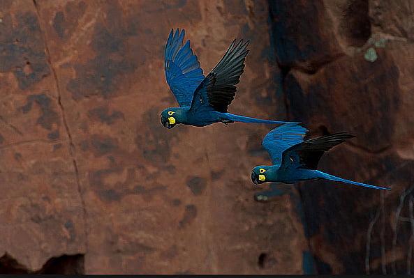 Imagem de ararinha azul, símbolo do tráfico de animais silvestres