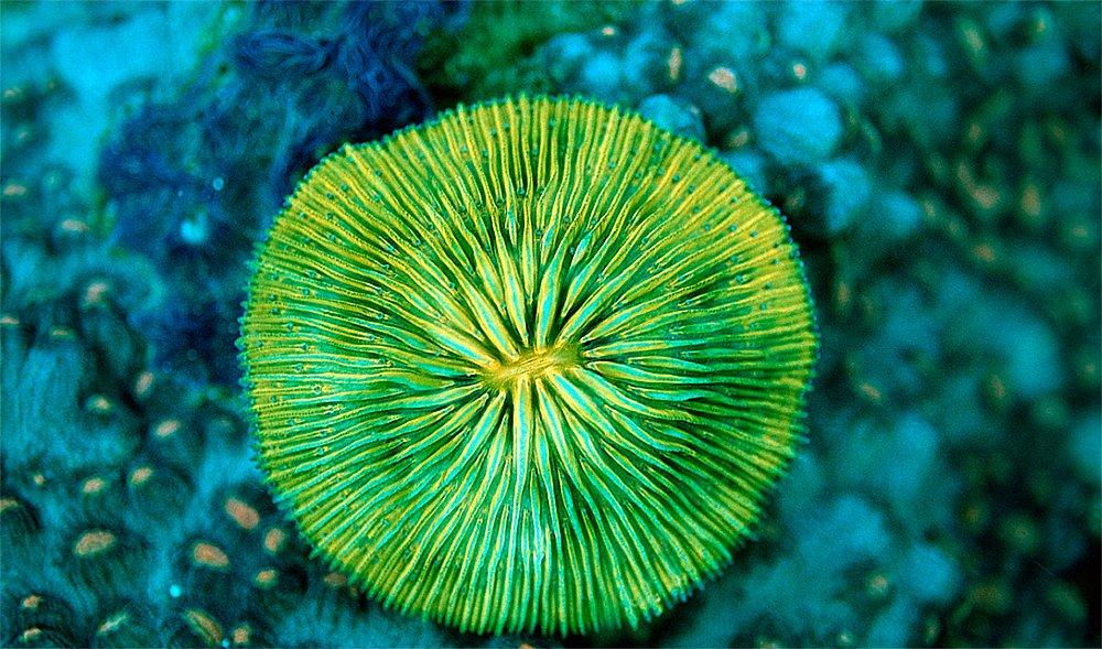 imagem de Corais: animais, vegetais ou minerais
