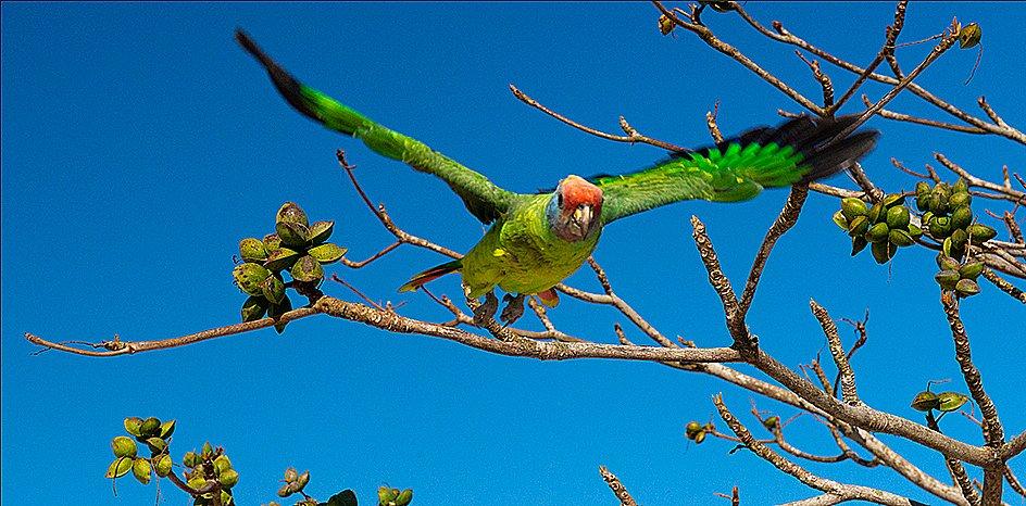 imagem de Papagaio de cara roxa, Litoral centro, e sul de São Paulo