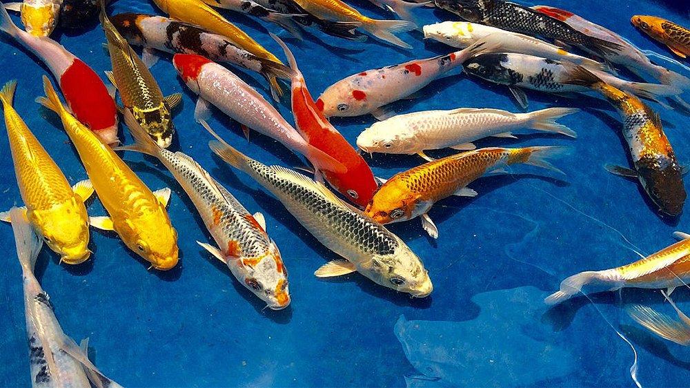 imagem de carpas alimentadas pela aquicultura e pecuária com peixes