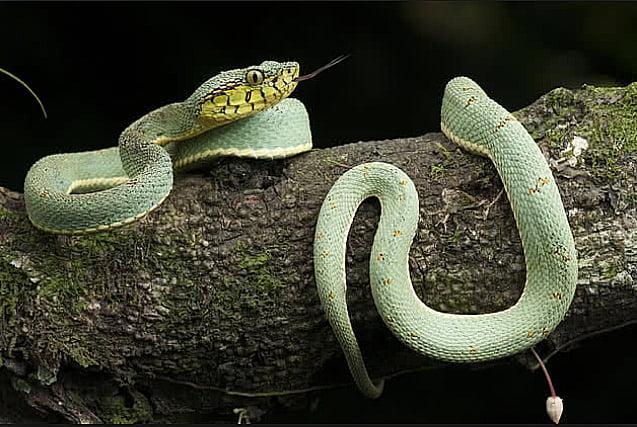 imagem de cobras, vítimas do conha Rainha é mais uma vítima do Tráfico de animais silvestres
