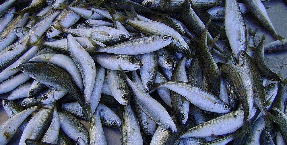 imagem de peixes forrageiros usados na aquicultura e pecuária