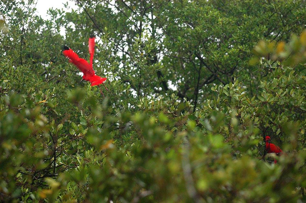 imagem de guará em copa de manguezal, Litoral centro, e sul de São Paulo