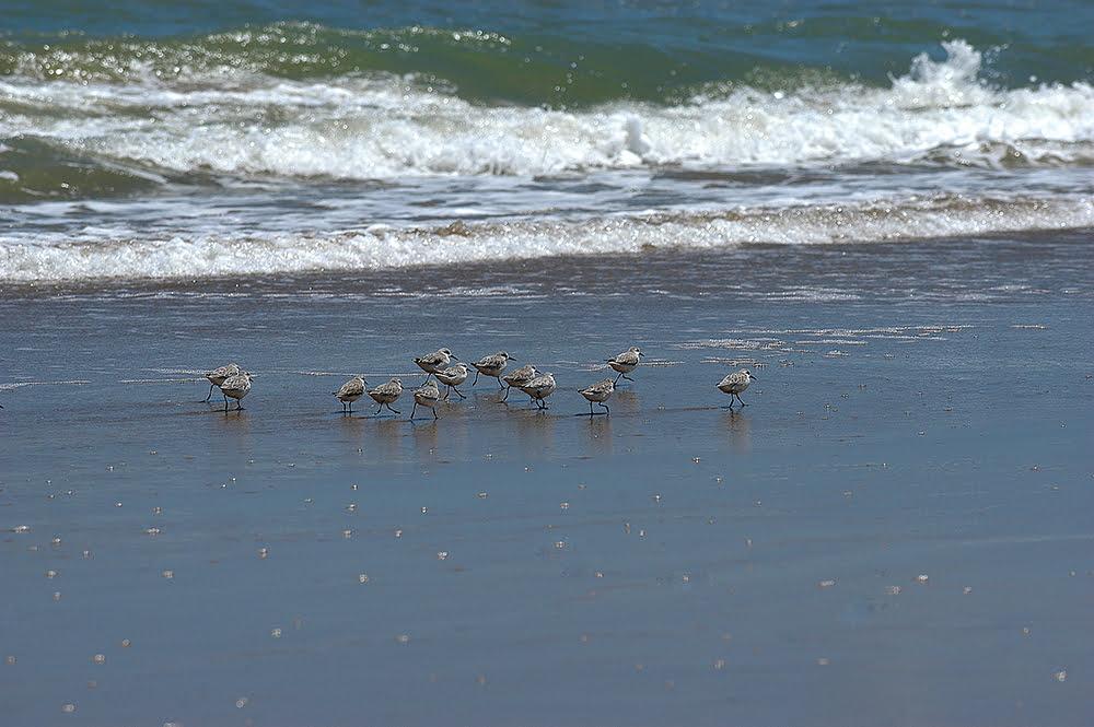 imagem de maçaricos na praia do peba do diário de bordo Litorais de Alagoas e Sergipe