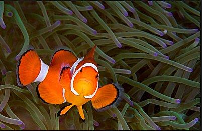 imagem de peixe ornamental vítima do Tráfico de animais silvestres