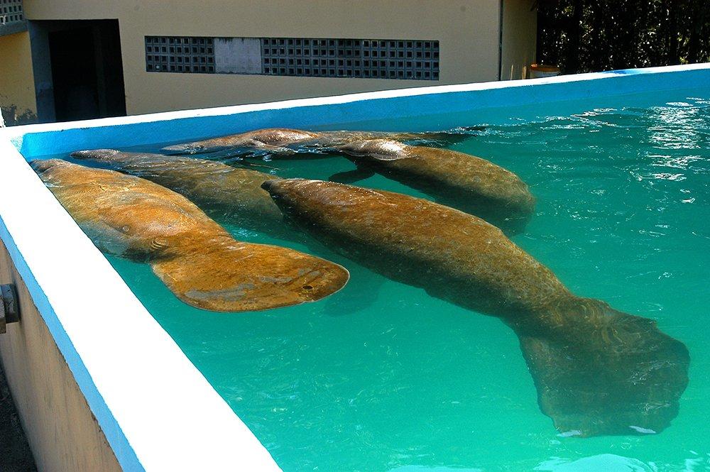imgem de peixes boi em tanque em Itamaracá, Litoral de Pernambuco