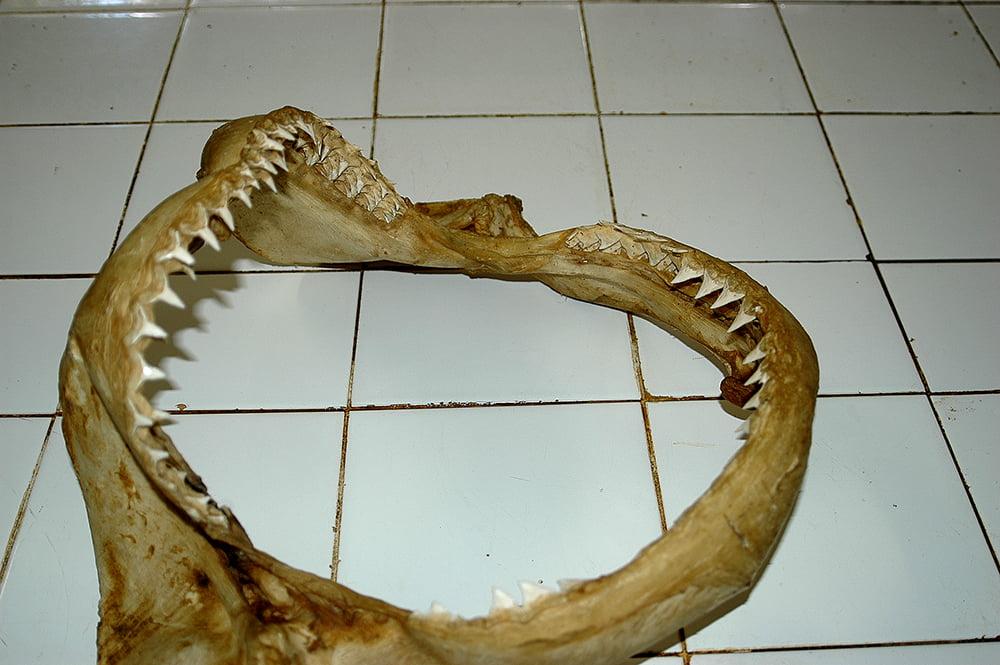imagem de mandíbula de tubarão