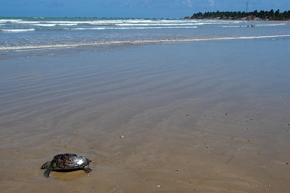 imagem de Tartaruga morta na praia do Peba