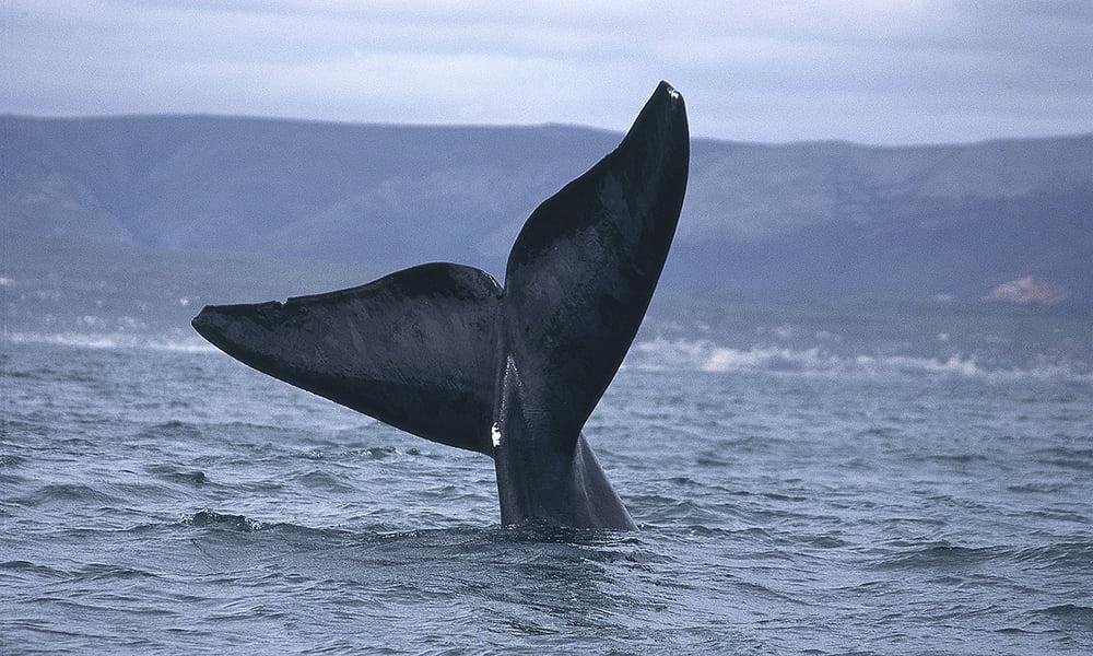imagem de cauda de baleia na Islândia