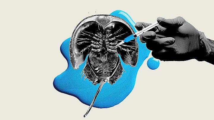 ilustração de caranguejos ferradura que têm sangue azul