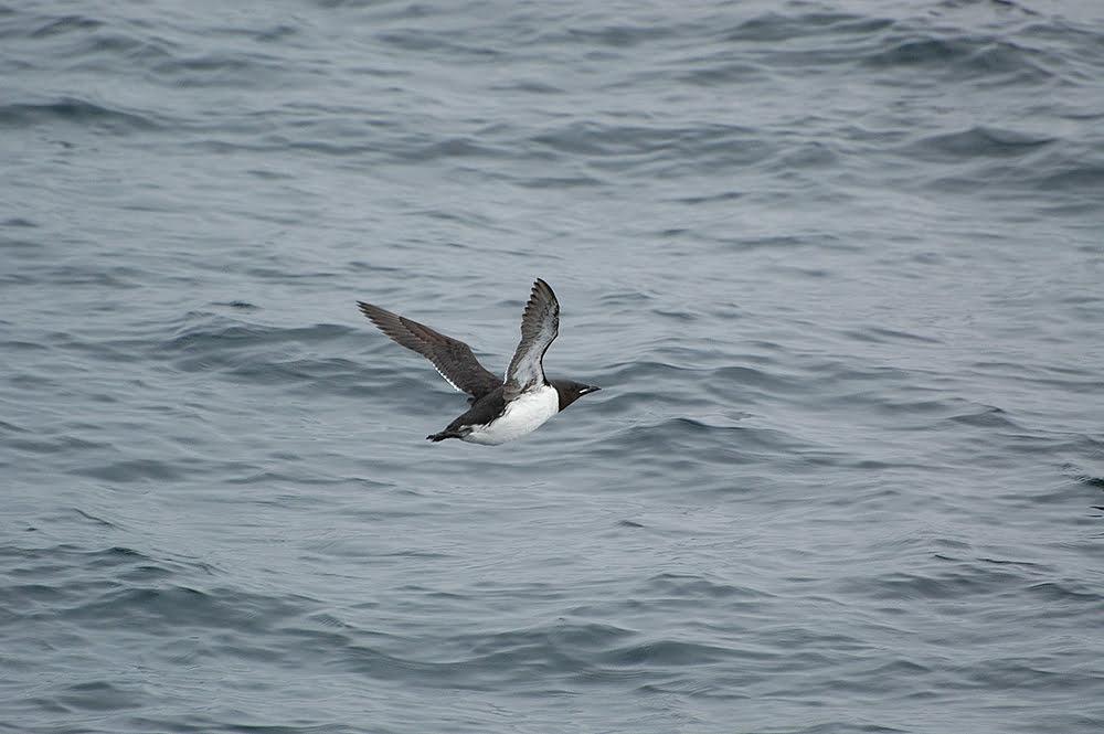 imagem da ave marinha murres Aves marinhas do Alasca