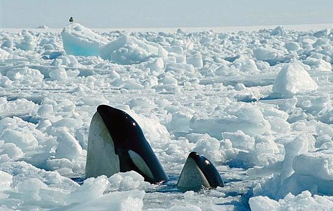 imagem de duas orcas saindo do gelo