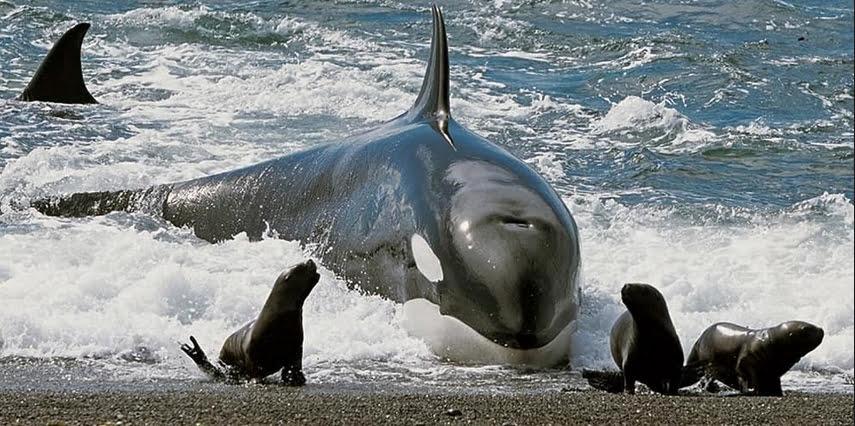 imagem de orca se alimentando na praia