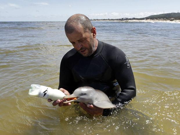 imagem de pesquisador dando de mamar para o Golfinho franciscana, do Prata, ou toninha