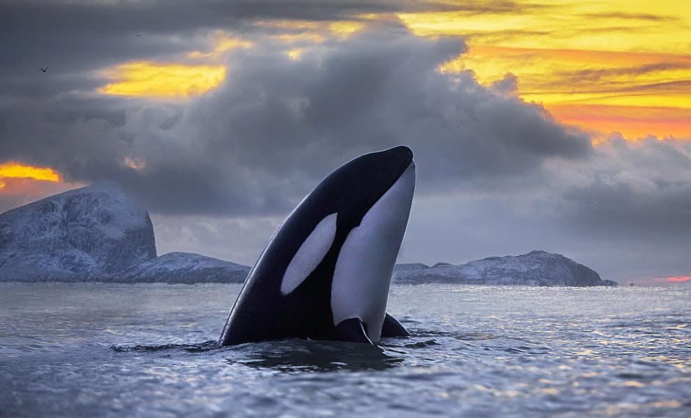 imagem de Orcas, envenenadas com PCBs