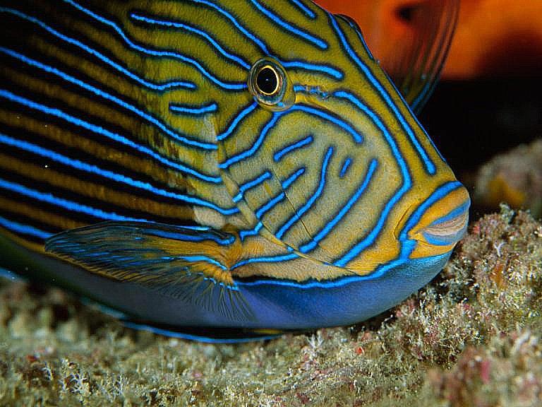 imagem de peixe, mais uma das Criaturas marinhas venenosas