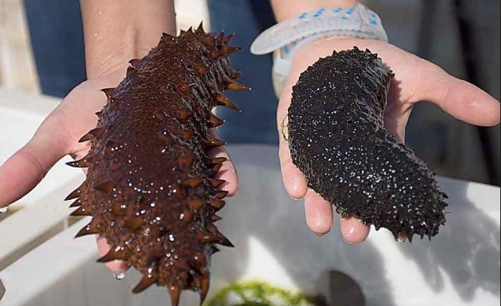 imagem de pepinos do mar