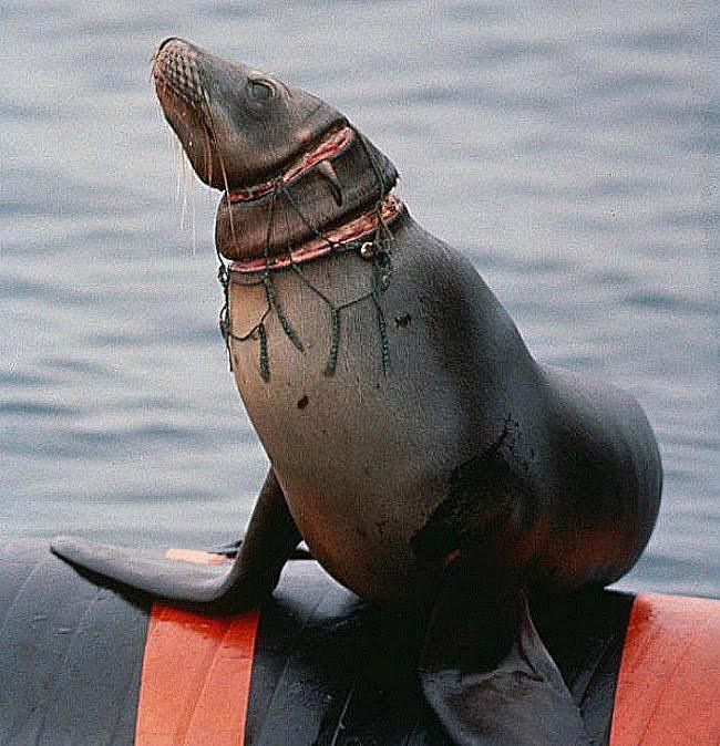 imagem de foca cortada por rede de pesca