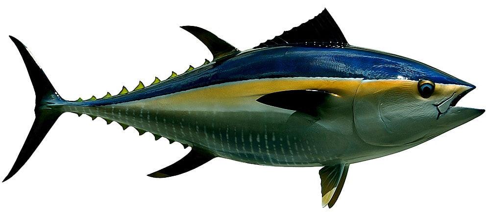 ilustração de atum rabilho