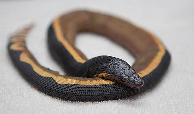 imagem de cobra do mar de barriga amarela uma das Criaturas marinhas venenosas