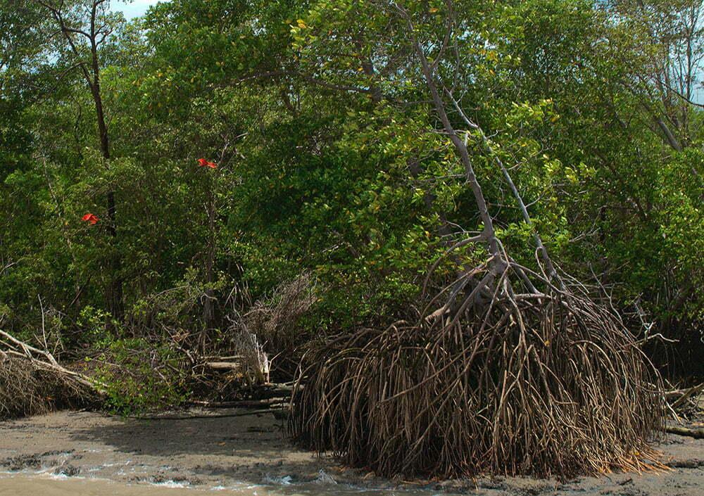 imagem de Guarás em manguezal.
