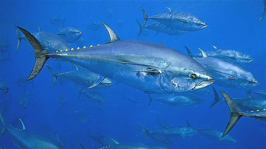 imagem de atuns rabilho