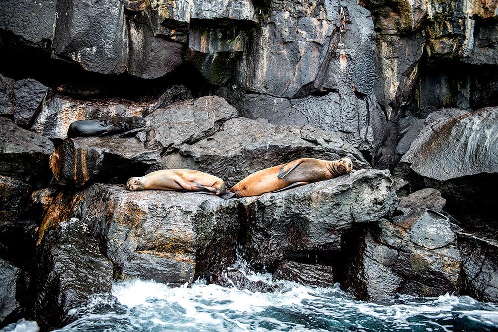 imagem do leão-marinho das Galápagos