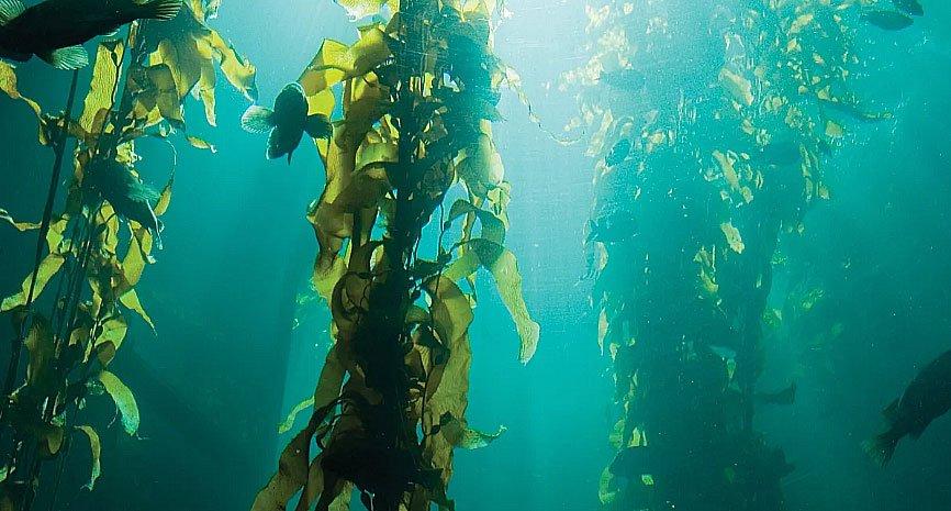 imagem de Kelp, tipo de alga marinha
