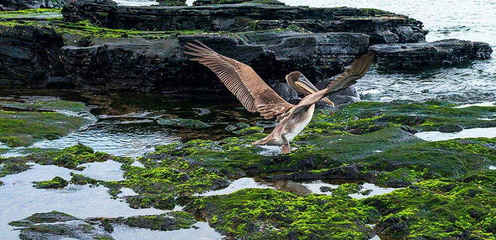image de pelicanos em Galápagos