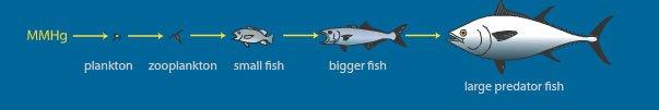 ilustração da contaminação de peixes por mercúrio