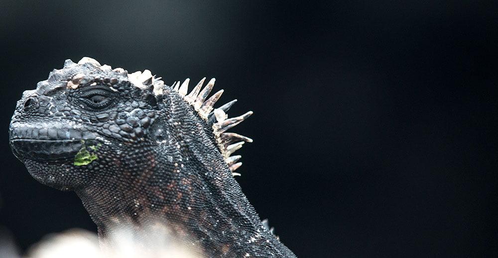imagem de iguanas em arquipélago de galápagos