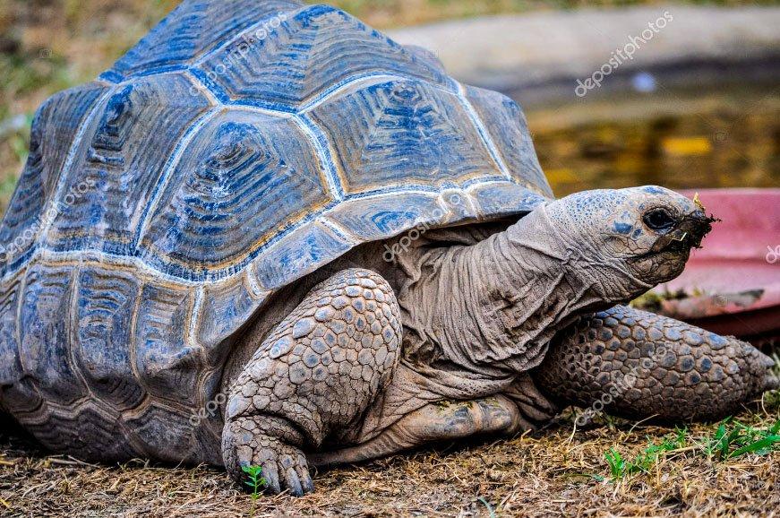 imagem de tartaruga gigantes de Galápagos