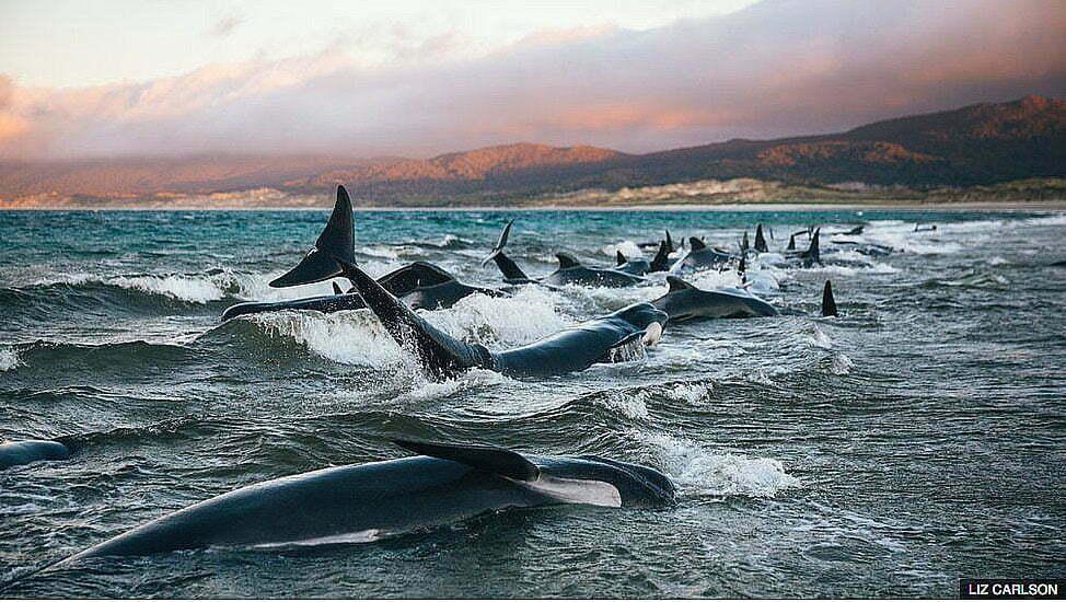 imagem de baleias- piloto encalhadas em praia