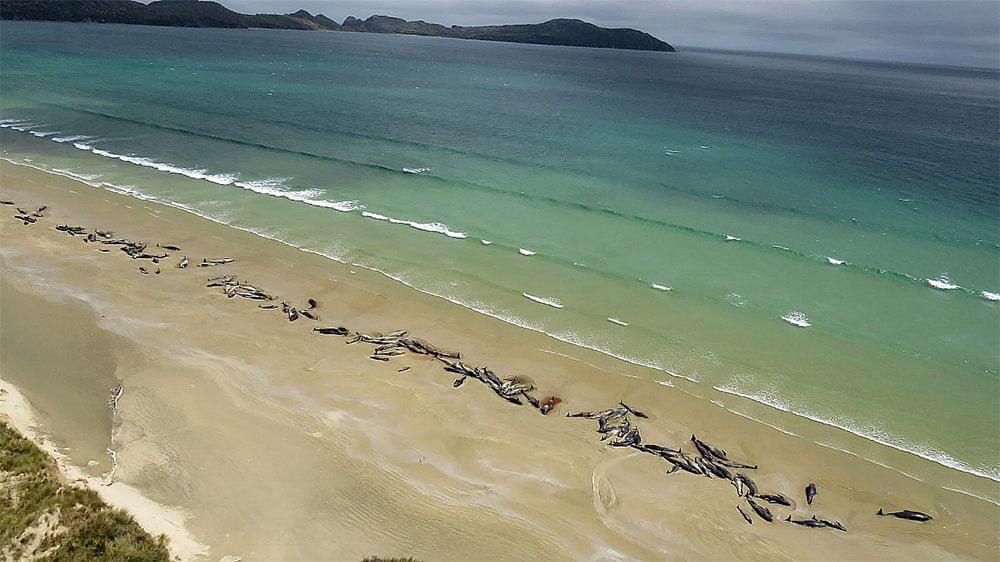 imagem de baleias- piloto mortas na praia