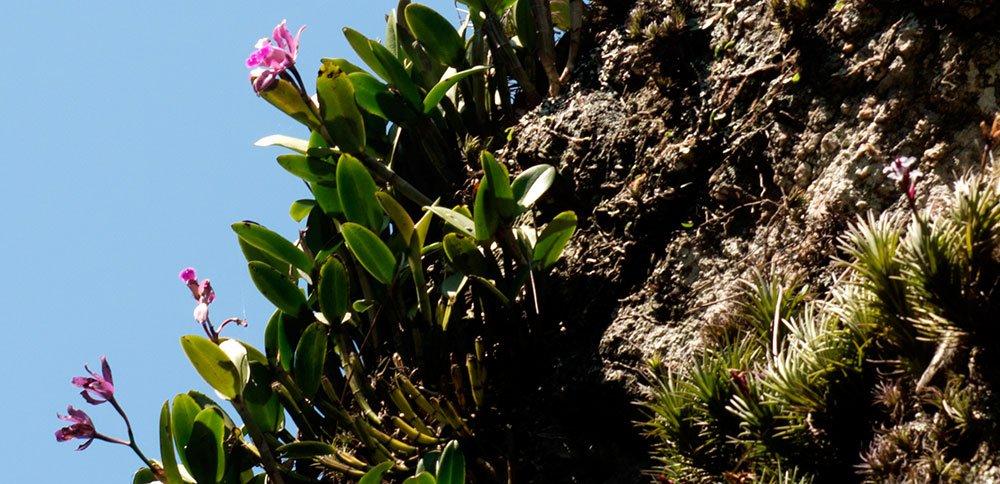 imagem da orquídea endêmica de alcatrazes Rainha do Abismo
