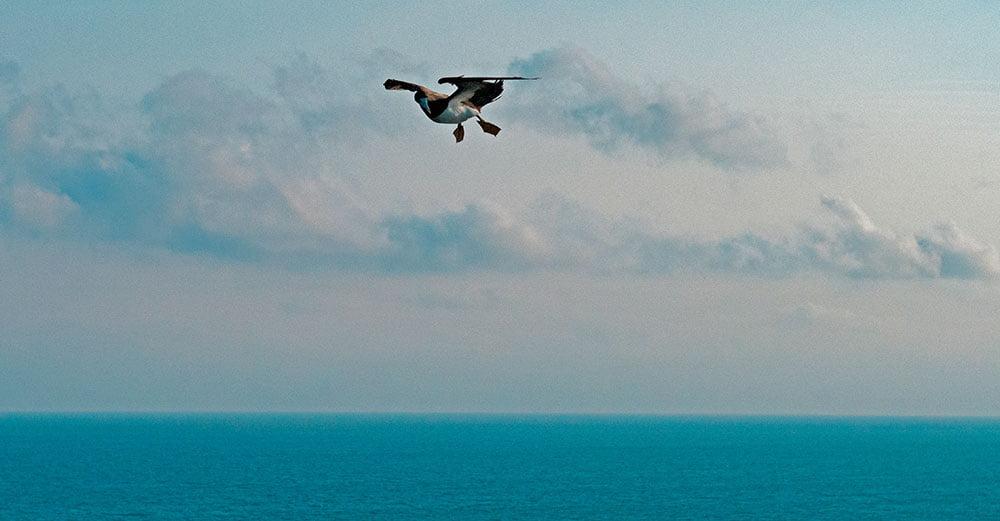 imagem de atobá voando sobre alcatrazes