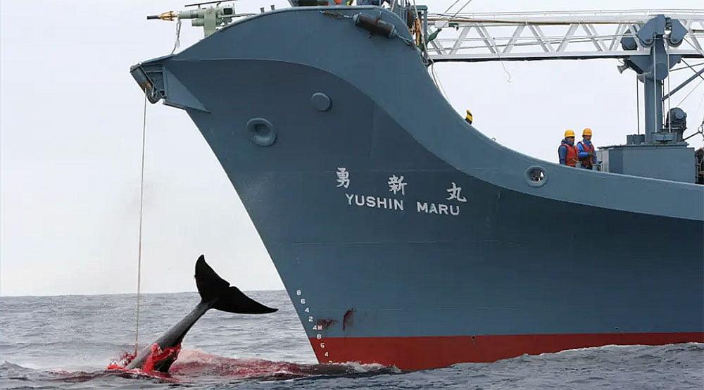 imagem de navio japonês na caça à baleia
