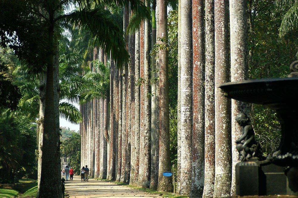imagem das palmeiras imperiais do jardim botânico do Rio de Janeiro