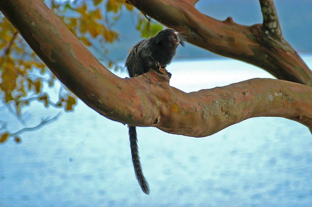 imagem de Sagui ilha Anchieta.