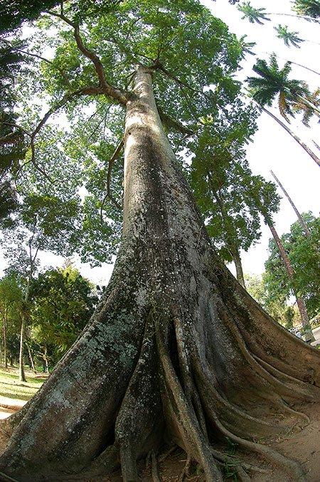 imagem de sumaúma no jardim botânico do Rio de Janeiro