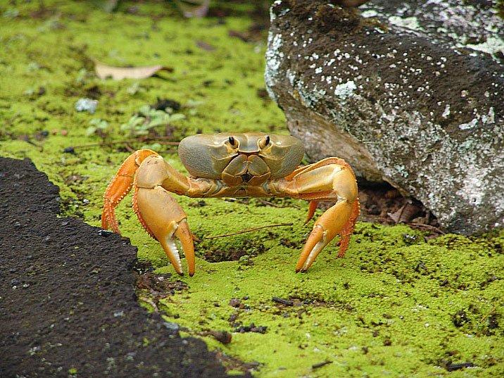 imagem de Johngarthia lagostoma, ou caranguejo amarelo de Trindade.