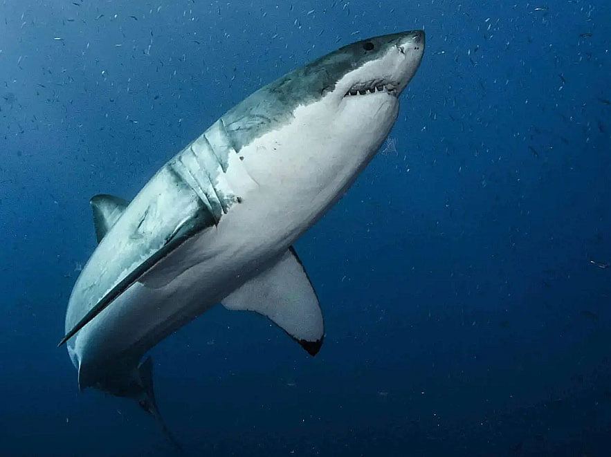 imagem de tubarão- branco